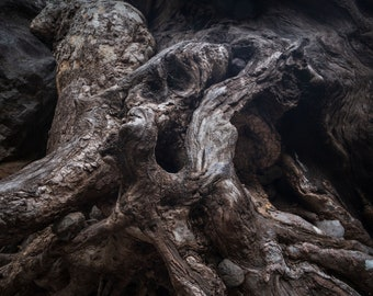 Exposed Sycamore Roots Fine Art Print