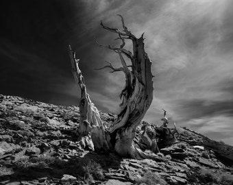 Dichotomy, Bristlecone Tree - Fine Art Print