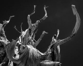 Bristlecone Tree reaching Skyward - Fine Art Print