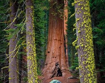 Framed Sequoia Fine Art Print