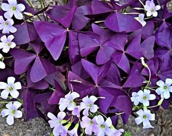 Oxalis Triangularis Bulbs, Purple Shamrock Plant, False Shamrock, Lucky Clover, Purple Wood Sorrel, Shade/Semi-Shade Plant