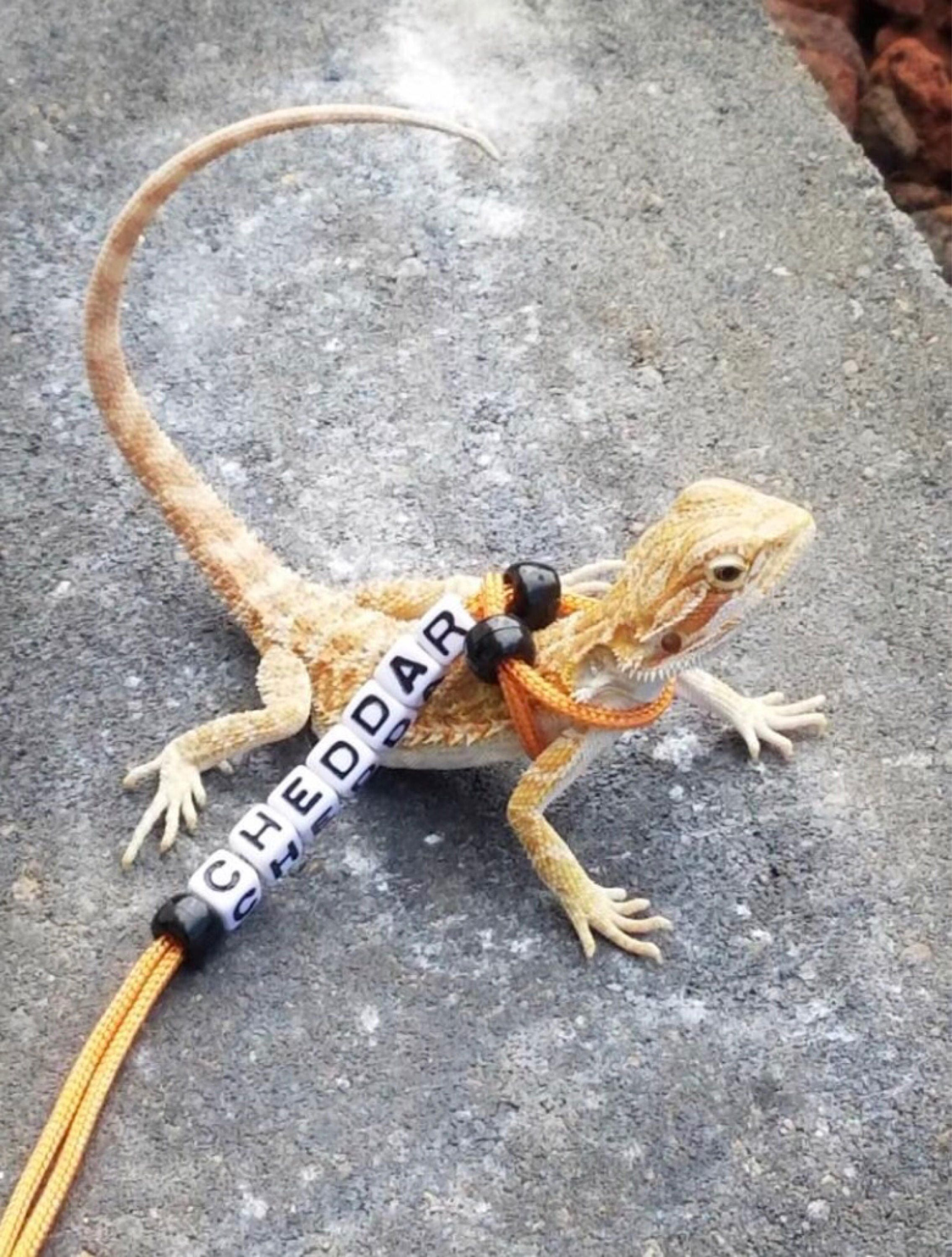 How to Train a Bearded Dragon: 7 Steps (with Pictures ...