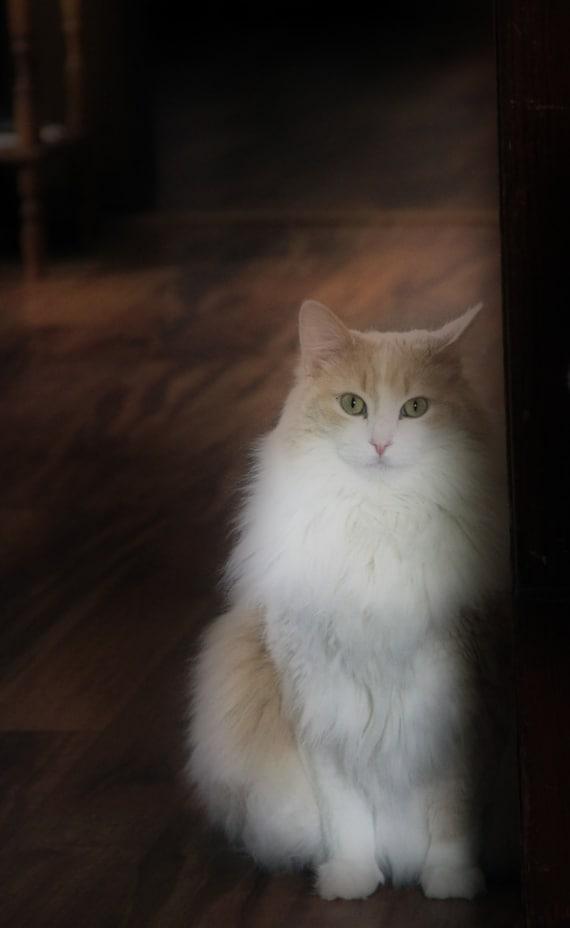 Digital Download Orange And White Cat Green Eyes Close Up Etsy