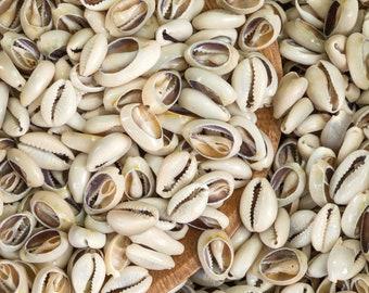 Cowrie Shells, 50pcs, Medium,  Cut Cowries, Seashells,  Sliced  Cowry