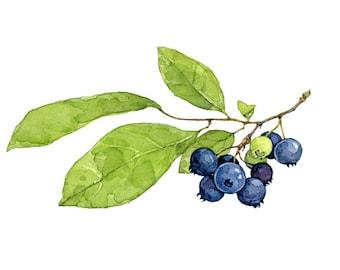 Blueberries Botanical Watercolor Print