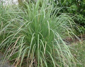 Lemongrass- 3 Rooted Plants-Cymbopogon citratus-Citronella-Aromatic Ornamental