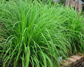 Lemongrass- 4 Rooted Plants - Cymbopogon citratus - Citronella - Aromatic Edible Ornamental