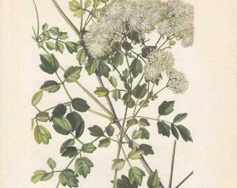 Tall Meadow-rue Thalictrum Polygamum Botanical Art Print 1954 Edith Farmington Johnston
