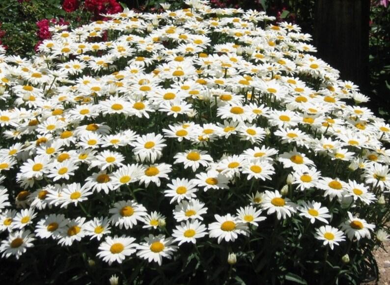 10 Live Plants/ SHASTA DAISY