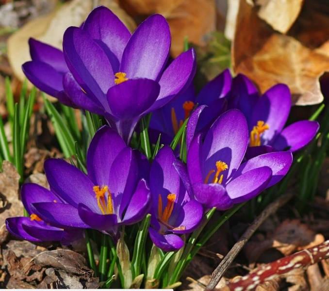 10 Remembrance Crocus  Purple Crocus Bulbs  Early Spring  f9bae89b0