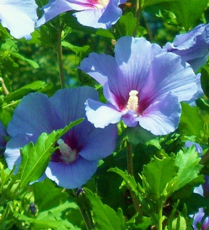 Live Blue Hibiscus Plant Aka Rose Of Sharon 18 To 24 Inch Etsy