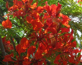 20 hand picked Royal Poinciana or Flamboyant Tree, botanical name delonix regia, seeds from Hawaii
