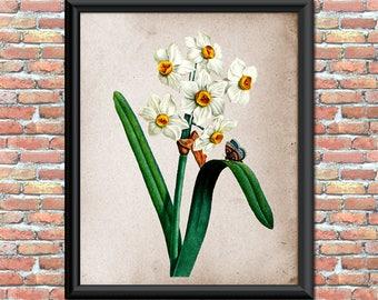 Daffodils Art Print Antique Vintage Rustic Flowers Botanical Bulbs Garden Nature Outdoors Printable Digital Download