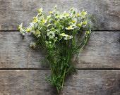 German Chamomile, heirloom seeds, organic seeds, herb garden, organic herbs, herb seeds, flower seeds, natural pest control, gardener