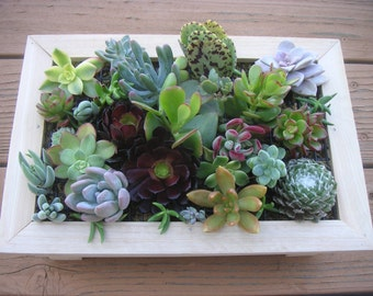 Complete Succulent Wall Art Kit, Includes 20 Cuttings, Moss And Soil To Get Started