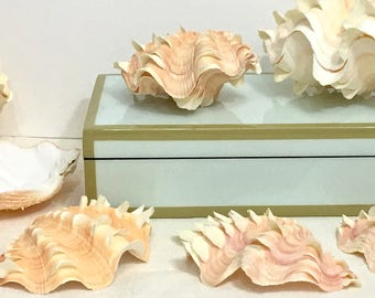 Seashells - Squamosa Shell -  Choose half or whole - beach decor/coastal decor/nautical/sea shells