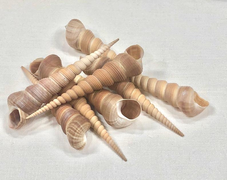 Craft /& Decor Sea Shells Turritella Screw Natural seashells