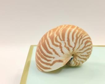 "Beach Decor - Natural Nautilus Shell -  Sizes from 2""-3"" to 5""-6""- shells seashells seashell sea shell sea shells coastal nautical"