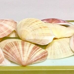 Strawberry Trochus Polished Shells-Wedding-Beach Decor-Pink Sea Shells-Sea Shells Bulk-Beach Decor-Crafting Shells-FREE SHIPPING!