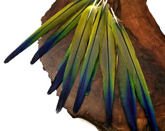 4 Pieces - Tri Color Ombre Conure Parrot Pointed Tail Feathers - Rare- : 3257