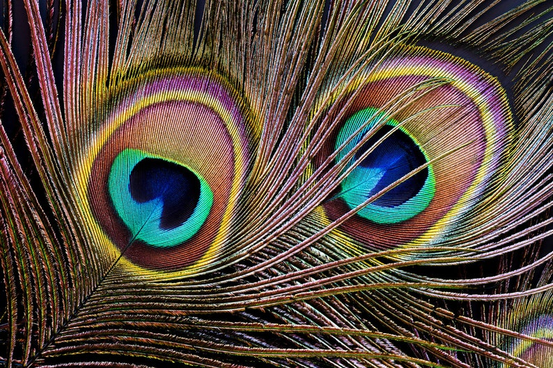 USA Natural Peacock Feathers 10 Pieces  10-12 Big Eye image 0