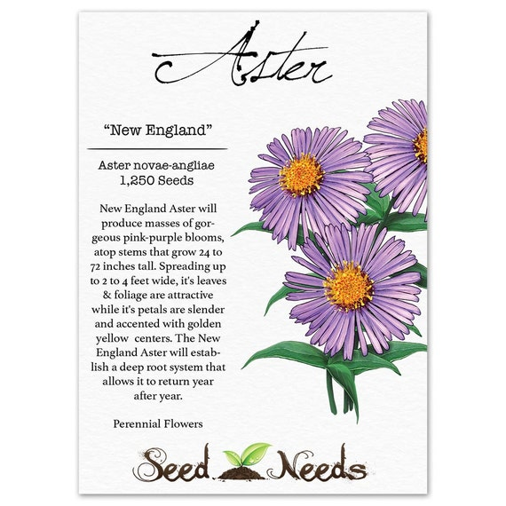 New england aster seeds aster novae angliae non gmo seeds by etsy image 0 mightylinksfo