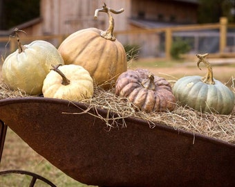 Pumpkin Set!  Farmhouse, faux Tabletop for fall, Outdoor Harvest decor, merchandising, FREE SHIPPING