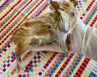 Small Guinea Pig Wet Specimen