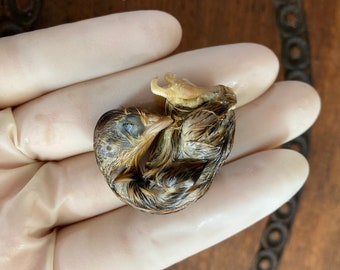 Baby Fetal Chick Wet Specimen