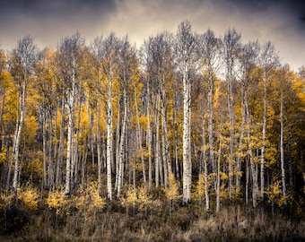 Aspen tree wall art, fall decor, Colorado art, aspen trees fall, cloudy fall print, rustic wall decor, aspen trees Colorado | Late Fall