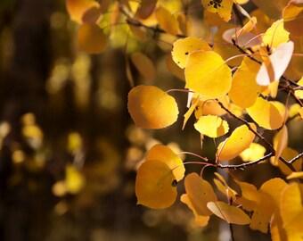 Aspen Tree Art, fall decor, fall leaves photo, yellow gold leaves, rustic wall decor, cabin art, aspen trees, Colorado | Gold Aspen Leaves