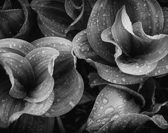 Raindrops plant art, Corn Lilly photo, Black and White photo, Colorado art, wildflower art, rain photo, fine art flower, botanical art