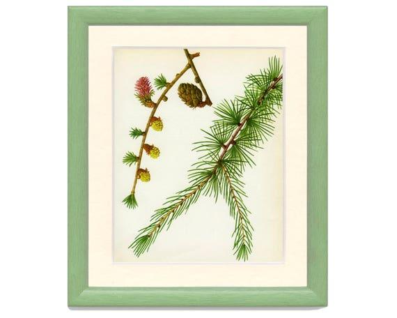 Vintage Tree Print European Larch Botanical Book Plate 37