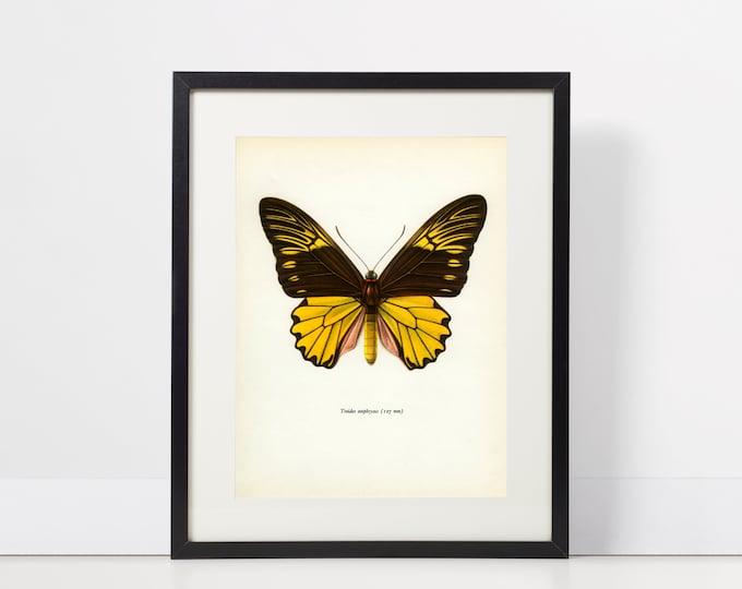 Vintage Butterfly Print, Malayan Birdwing, Troides amphyrysus, M/B/1964/59, Lepidoptera, Frameable Art, Frameable Vintage Print