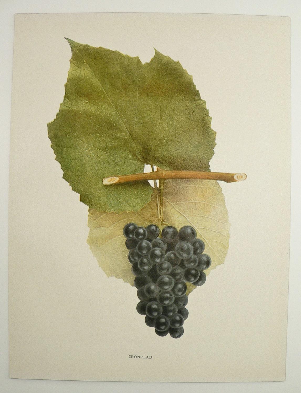 Vintage Print Of Grapes Antique Fruit Print 1908 NY Grapes | Etsy
