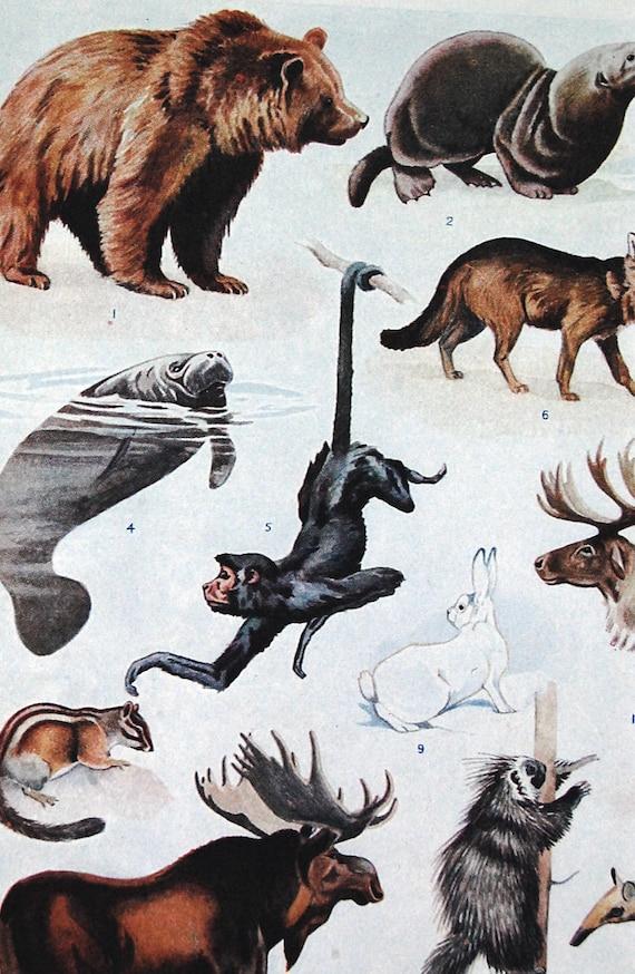 "1926 Vintage ANIMALS /""GRIZZLY BEAR/"" GORGEOUS COLOR Art Print Lithograph"