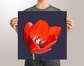 Red Tulip Art Print on Pa...