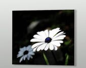 White Daisy Art Print on ...