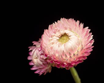 Blush Pink, Strawflower Photograph, Flower Decor, Wall Art Print - Nature Photography, Nursery Artwork, Girls Room Walls, Botanical Prints