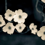 Dogwood Photograph, Indigo Blue Home Decor, Nature Wall Art Print - White Flower Photography, Spring Flowers, Decoration Walls, Botanical