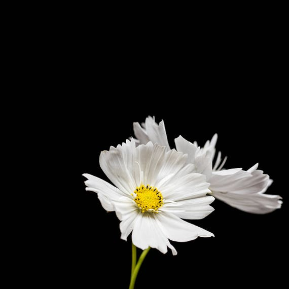 White Cosmos Flower Botanical Home Decor Nature Wall Art Etsy
