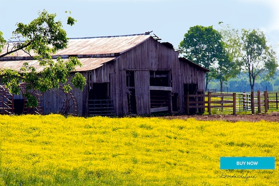 Barn with Goldenrod Morehead Kentucky Fine Art Giclee Print on Paper Canvas or Wood by Brenda Salyers by Brenda Salyers
