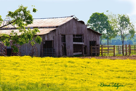 Kentucky, Barn with Goldenrod Morehead Fine Art Print on Paper or Canvas