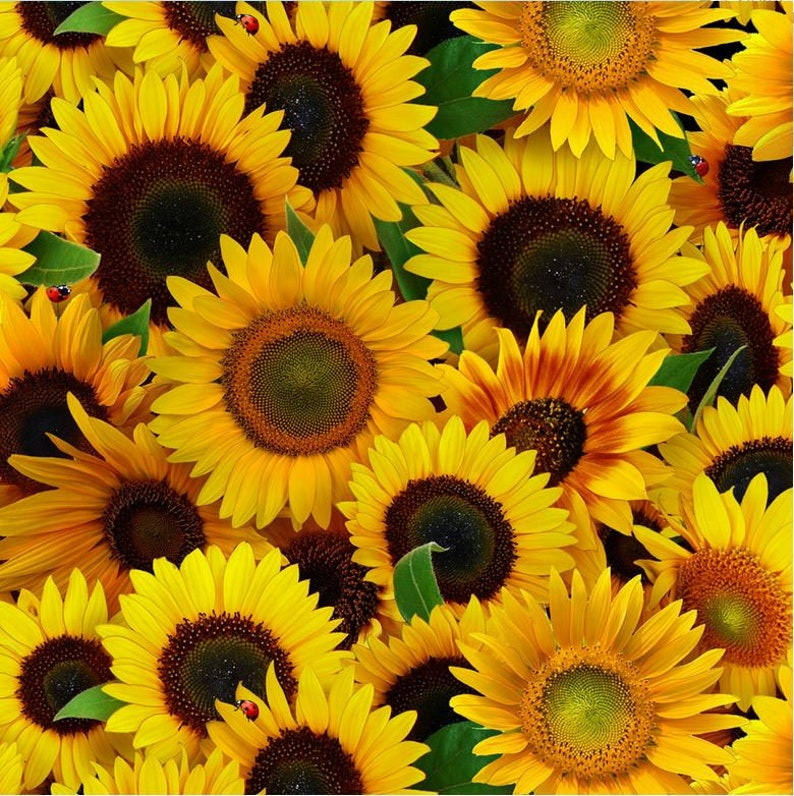 Elizabeths Studio - Sunflowers - Packed Sunflowers - Yellow - Cotton Fabric by the Yard or Select Length 487E-YLW photo