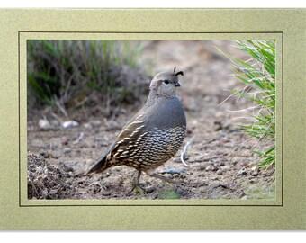 Quail Photo Greeting Cards - Valley Quail Card - Blank Inside - California Quail Note Cards - Custom Bird Cards - Quail Gifts
