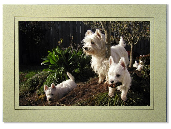 West Highland White Terrier Solo Westie Greetings Card