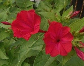 Mirabilis jalapa 'Red'—Four O'Clock Flower 'Red'—50 Seeds