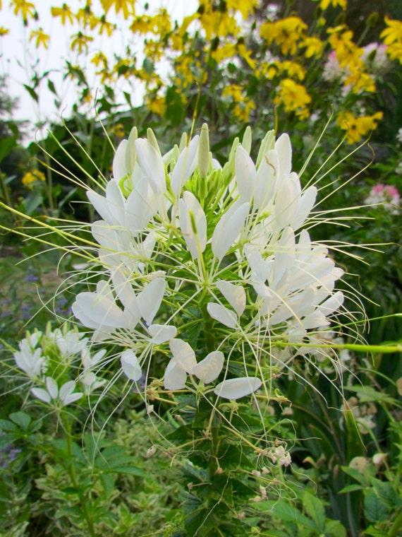 SPIDER FLOWER VIOLET QUEEN Cleome Hasslerianai 100 Bulk Seeds