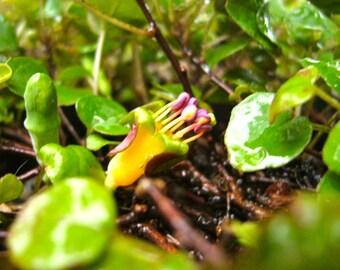 Fuchsia procumbens—Creeping Fuchsia—25 Seeds