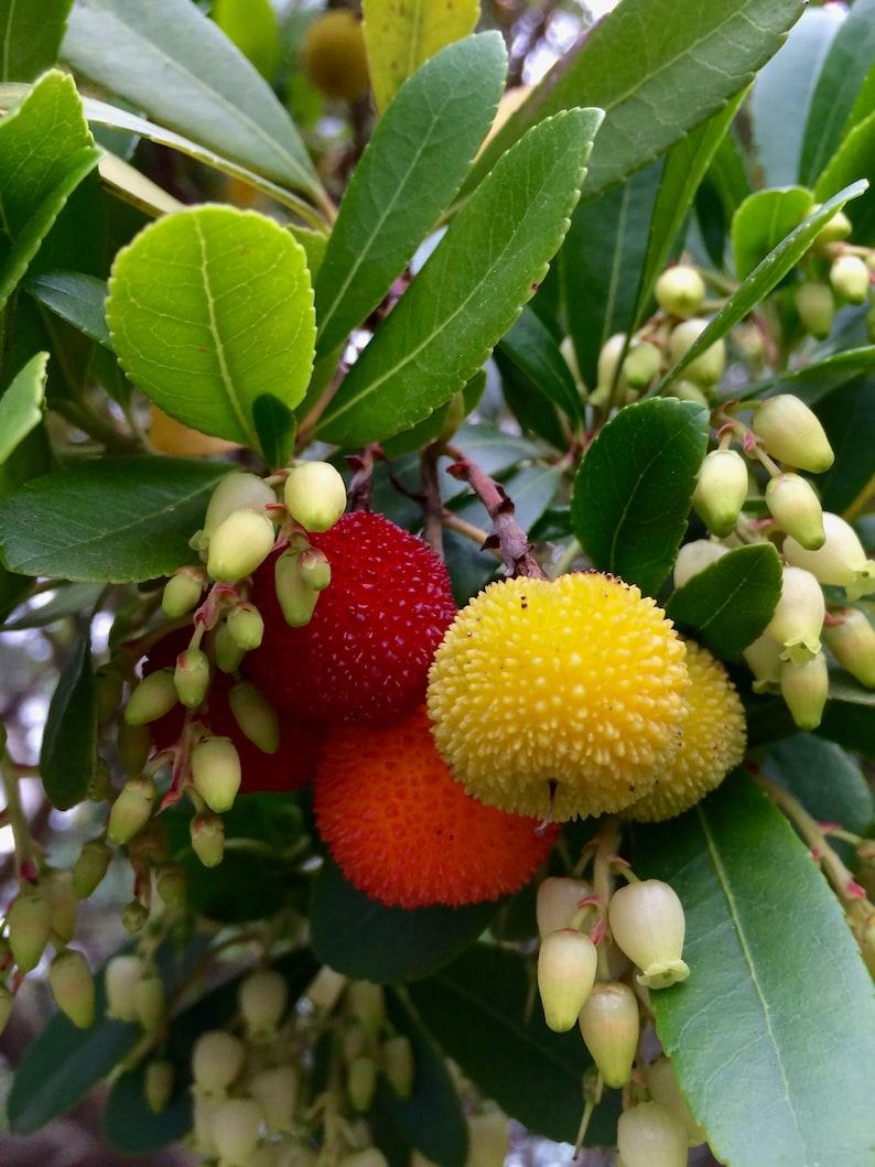 Arbutus unedoStrawberry treeOrnamental Garden Tree5-6ft
